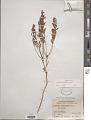 View Comandra richardsiana Fernald digital asset number 1