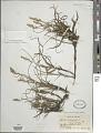 View Carex arenaria L. digital asset number 1