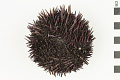 View Purpled-spined Sea Urchin digital asset number 0