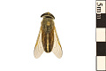 View Striped Horse Fly digital asset number 0