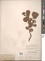 View Salix arctica var. obcordata (Andersson) Rydb. digital asset number 1