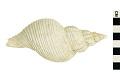 View Florida Horse Conch, Warry Whelk, Whelk digital asset number 0