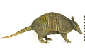View Nine-banded Armadillo, Long-nosed Armadillo digital asset number 0