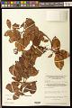 View Bredemeyera kunthiana (J. St.-Hil.) Klotzsch ex A.W. Benn. digital asset number 0
