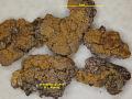 View Blastenia viridans B.J. Murray digital asset number 1