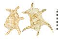 View Chiragra Spider Conch, Chiragra Spider Conch digital asset number 0