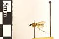 View Saltmarsh Mosquito digital asset number 2
