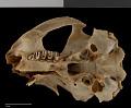 View Urocitellus parryii kodiacensis digital asset number 12