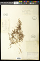 View Euphorbia polycarpa digital asset number 0