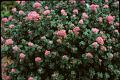 View Spiraea japonica L. f. digital asset number 3