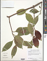 View Ilex editicostata var. litseifolia (Hu) S.Y. Hu & Tang digital asset number 1