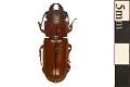 View Pole Borer, Longhorned Beetle digital asset number 0
