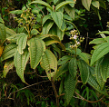 View Miconia andersonii Fawc. & Rendle digital asset number 0
