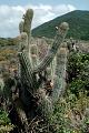 View Cereus hildmannianus K. Schum. digital asset number 2