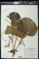 View Begonia itaguassuensis Brade digital asset number 0