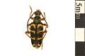 View Chestnut Bark Borer, Long-horned Beetle, Long-horned Beetle digital asset number 0
