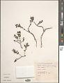 View Euphorbia amplexicaulis Hook. f. digital asset number 1