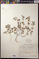 View Euphorbia hirta L. digital asset number 0
