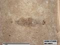 View Pteromogoplistes smithii digital asset number 3