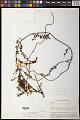 View Cladomyza dubia Stauffer digital asset number 0