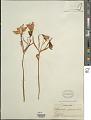View Alstroemeria versicolor Ruiz & Pav. digital asset number 1