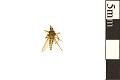 View Saltmarsh Mosquito digital asset number 0