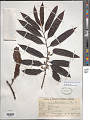 View Bicuiba oleifera (Schott) J.J.de Wilde digital asset number 1