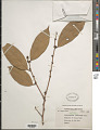 View Cleistanthus petelotii Merr. ex Croizat digital asset number 1
