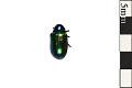 View Dogbane Leaf Beetle digital asset number 0