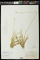 View Comanthera xeranthemoides (Bong.) L.R. Parra & Giul. var. xeranthemoides digital asset number 0