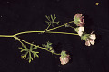 View Sidalcea diploscypha A. Gray ex Benth. digital asset number 0