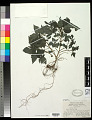 View Laportea ruderalis (G. Forst.) W. L. Chew digital asset number 0