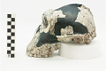 View OH 5, Fossil Hominid, Fossil Hominid digital asset number 2