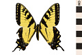 View Appalachan Tiger Swallowtail digital asset number 0