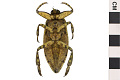 View Giant Water Bug digital asset number 0