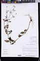 View Acmella paniculata (Wall. ex DC.) R.K. Jansen digital asset number 0