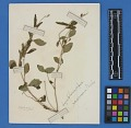 View Botanical Specimens From Quileute Indians digital asset number 30