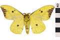 View Imperial Moth digital asset number 1