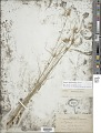View Cyperus fendlerianus Boeckeler digital asset number 1