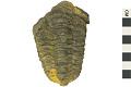 View Trilobite digital asset number 0