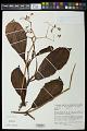 View Begonia smilacina digital asset number 0