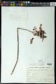 View Kalanchoe tubiflora (Harv.) Raym.-Hamet digital asset number 0