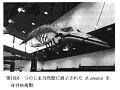 View Balaenoptera omurai Wada et al., 2003 digital asset number 9