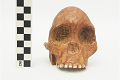 View Taung Child, Fossil Hominid digital asset number 5