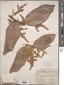 View Licania sclerophylla (Mart. ex Hook. f.) Fritsch digital asset number 1