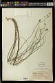 View Euphorbia graminea Jacq. digital asset number 0