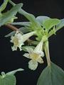 View Alsobia punctata (Lindl.) Hanst. digital asset number 3