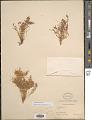 View Euphorbia micromera Boiss. digital asset number 1