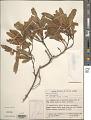 View Dodonaea viscosa Jacq. digital asset number 1