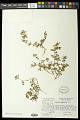 View Euphorbia vermiculata Raf. digital asset number 0